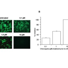 Chloroquine is a potent inhibitor of SARS coronavirus infection and spread